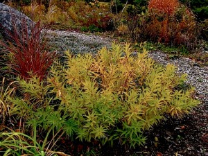 Amsonia tabermontana. : Autumn leaf color in garden setting ⓒ Michaela at TGE