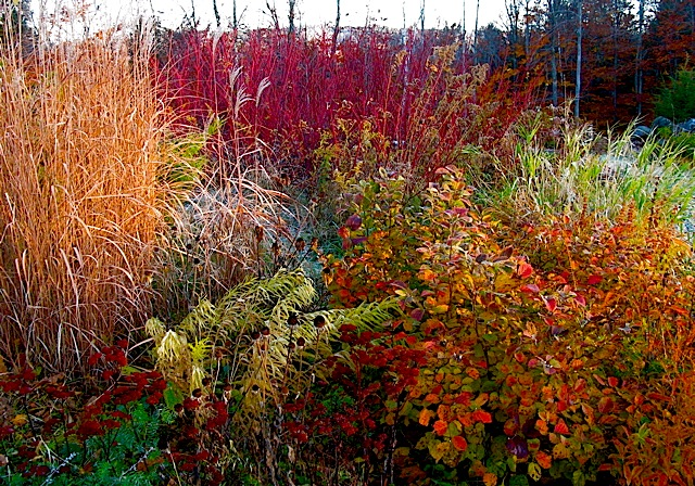 Red twig dogwood and Fothergilla, Miscanthus purpurascens, Sedum ⓒ Michaela at TGE