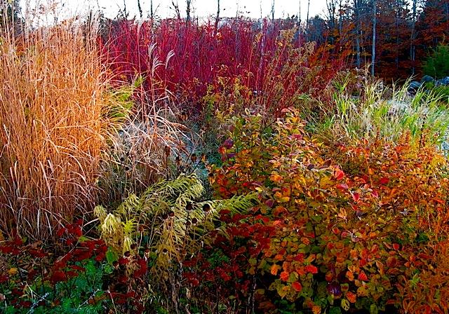 Red twig dogwood and Fothergilla, Miscanthus purpurascens, Sedum ⓒ Michaela at TGE