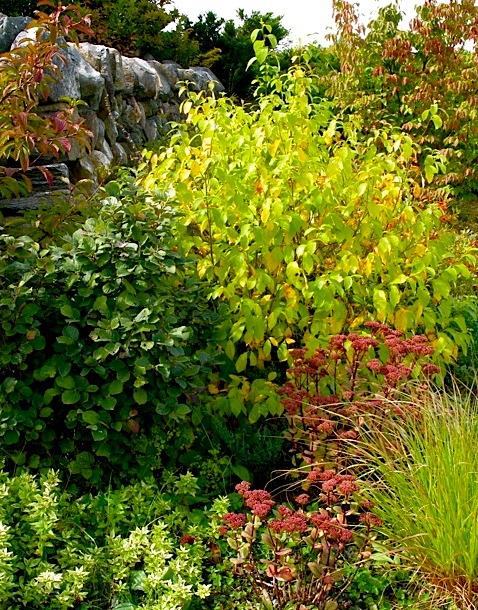 Autumn color Lindera benzoin ⓒ Michaela at TGE