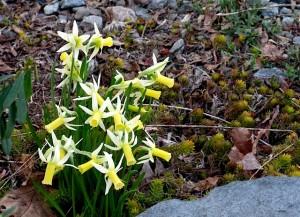 Narcissus 'Lemon Silk' ⓒ Michaela at TGE
