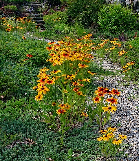 wildflower walk rudbeckia hirta ⓒ Michaela at TGE