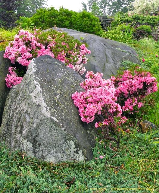 Tiempo para podar los arbustos floridos de primavera - La columna de propietarios - Extensión de la Universidad de Illinois que sirve a los condados de Champaign, Ford, Iroquois y Vermilion