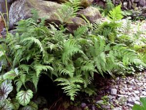 lady-fern