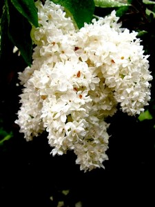 syringa-vulgaris-mme-lemoine-double-white