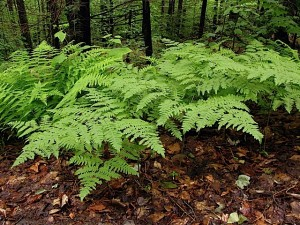 natural-grouping-of-bracken-fern-at-ferncliff