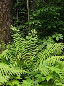 naturally-occuring-ostrich-fern-at-ferncliff