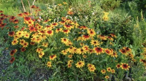 rudbeckia hirta late summer, (with lysimachia clethroides)