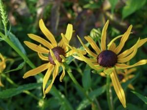 Rudbeckia fulgida sullivantii,'Goldsturm' (Black-eyed Susan)