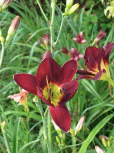 Hemerocallis, (daylily from WFF Woodside mix)