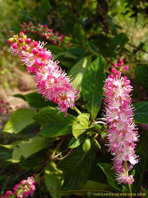 Clethra Alnifolia Rosea Clethra Alnifolia 'ruby Spice'