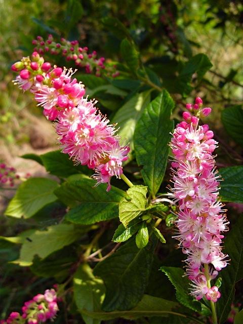 Clethra Alnifolia Pruning Clethra Alnifolia 'ruby Spice'