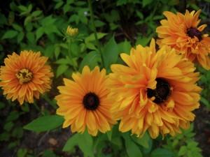 """double rudbeckia """"Goldilocks"""" (small), cutting garden"""