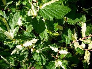 filipendula variegata
