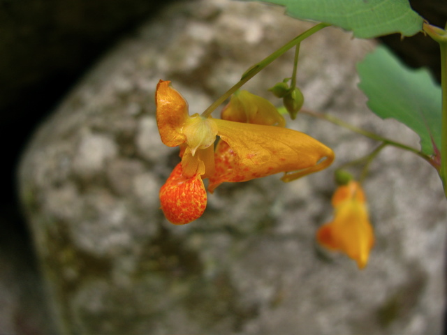jewel weed identification