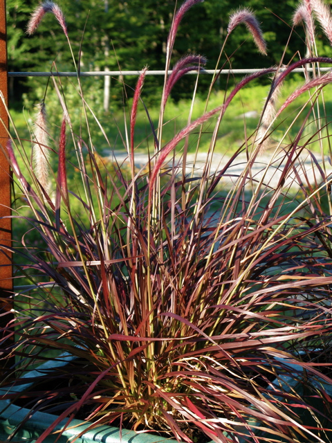 pennisetum setaceum rubrum the gardener 39 s eden. Black Bedroom Furniture Sets. Home Design Ideas