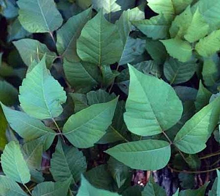 prednisone effects on poison ivy
