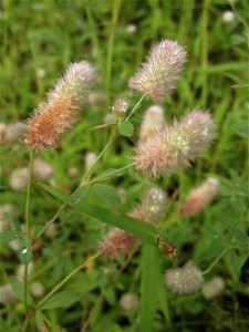 rabbit foot clover