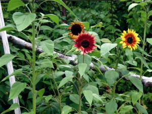 sunflowers in potager