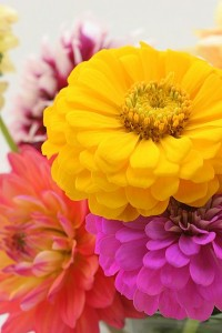 zinnia and dahlia, c. Tim Geiss 2009