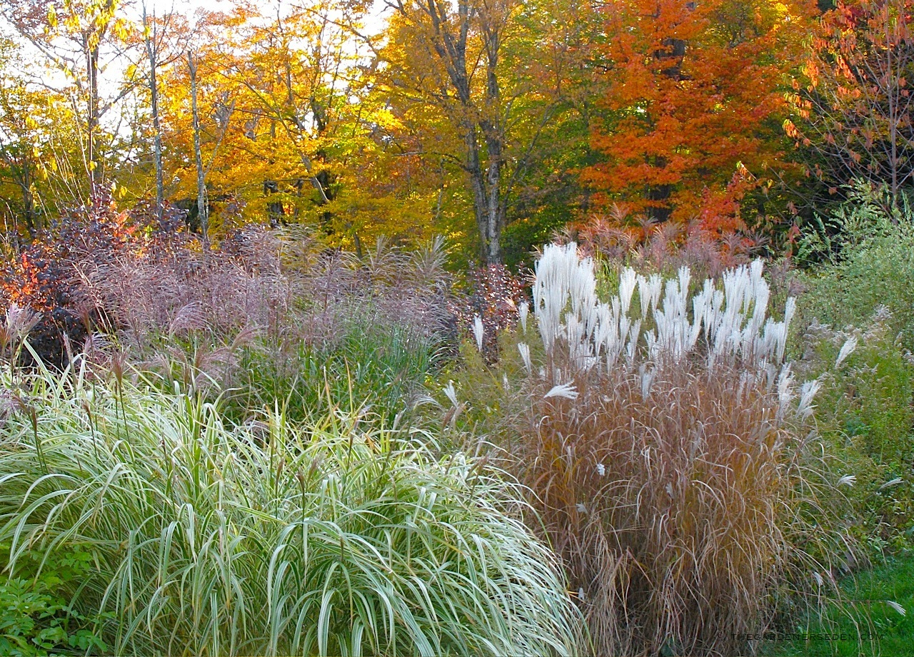 Autumn garden ornamental grass the gardener 39 s eden for Short landscape grasses