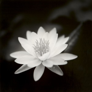 Ronald Cowie Water Lily