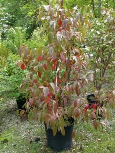 Viburnum lentago (Nannyberry viburnum)