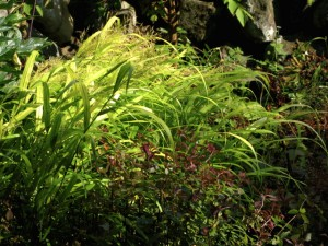hakonechloa in morning light