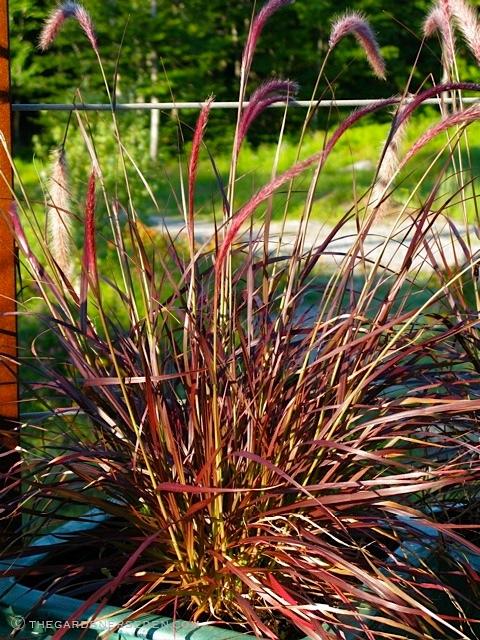Pennisetum setaceum 'Rubrum' up close
