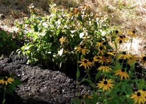 planted viburnum