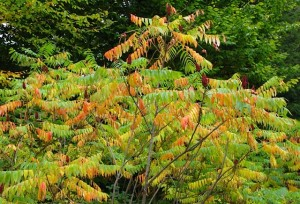 staghorn sumac, september, fruit and early hint of color