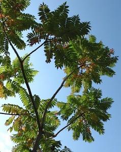 staghorn sumac, up