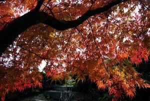 Acer palmatum x dissectum 'Seiryu'