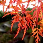 Acer palmatum x dissectum 'Seiryu' backlit foliage