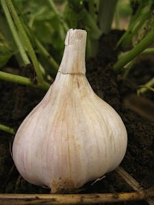 Continental Garlic