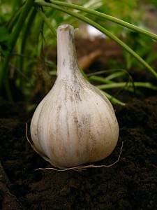 Doc's German Garlic