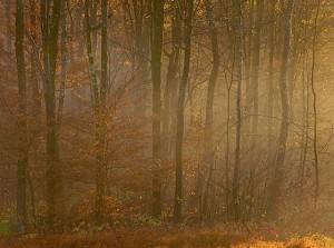 Native Beech in Morning Light, October
