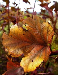 Physocarpus 'Diablo' color variation