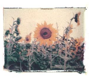 SunflowerOrvieto2ALM