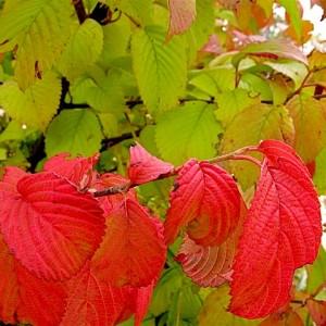 Viburnum plicatum var tomentosum 'Shasta' begins to color
