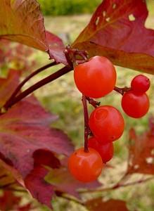 Viburnum trilobum J.N. Select Redwing