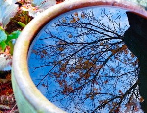 Acer palmatum x dissectum 'Seiryu' reflection