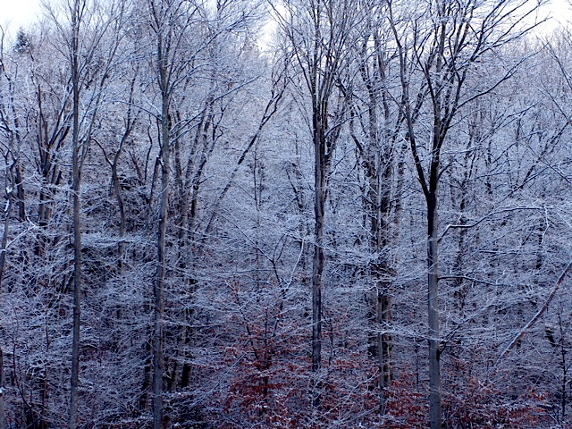 Beech stand, first snow...
