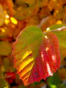 Fothergilla leaf