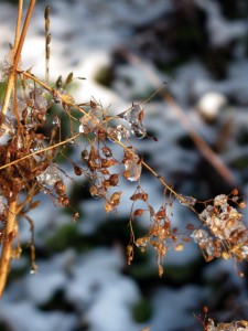 Heuchera seed with ice in November