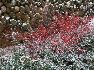 Ilex verticillata and Juniperus chinensis 'Sargentii' dusted in snow