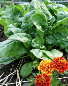 compost, marigold, spinach