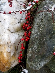cotoneaster with snow