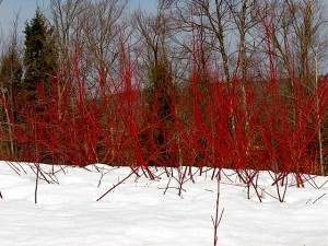 red twig dogwood ll, march 19, 2009