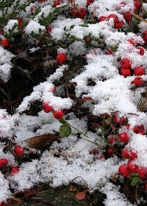 cotoneaster in snow